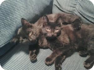 Domestic Longhair Kitten for adoption in Acushnet, Massachusetts - George & Georgia