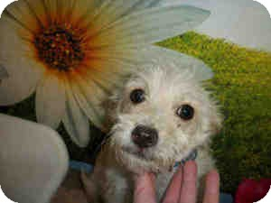 Terrier (Unknown Type, Small) Mix Dog for adoption in Las Vegas, Nevada - Ricky