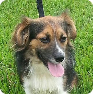 Sheltie, Shetland Sheepdog/Papillon Mix Dog for adoption in Harrisonburg, Virginia - Jackson