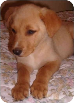 Labrador Retriever/Great Pyrenees Mix Puppy for adoption in Nashville, Tennessee - Robin- Adopted