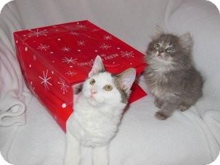 Domestic Shorthair Kitten for adoption in Homewood, Alabama - Wren