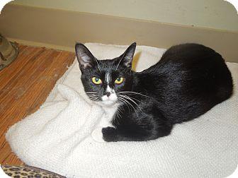 Domestic Shorthair Cat for adoption in Medina, Ohio - Mittens