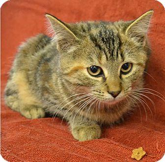 Domestic Shorthair Kitten for adoption in Albion, New York - Truffles