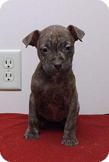 Labrador Retriever/Shar Pei Mix Puppy for adoption in Circleville, Ohio - Rosie