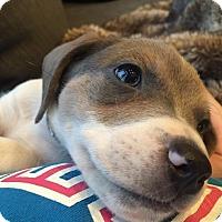 Adopt A Pet :: Sammy Davis - Ft. Collins, CO