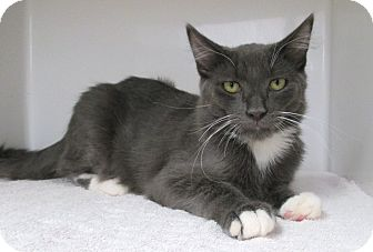 Domestic Mediumhair Kitten for adoption in Red Bluff, California - Roo
