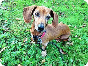 Dachshund Dog for adoption in Buffalo, New York - Wanda