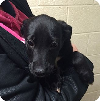 Labrador Retriever Mix Puppy for adoption in Greensburg, Pennsylvania - Addison