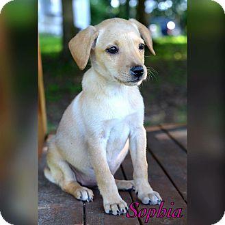 Labrador Retriever/Border Collie Mix Puppy for adoption in Bradenton, Florida - Sophia
