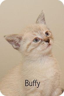 Domestic Shorthair Kitten for adoption in Yorba Linda, California - Buffy