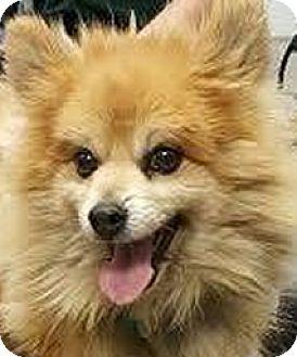 Pomeranian Dog for adoption in Loveland, Colorado - Ziggy