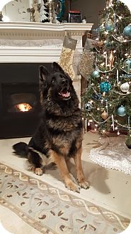 German Shepherd Dog Dog for adoption in Brookfield, Connecticut - Chessa