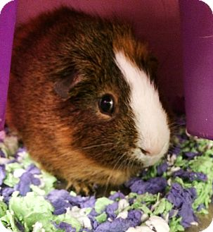 Guinea Pig for adoption in Lake Elsinore, California - Tiga