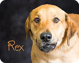 German Shepherd Dog/Golden Retriever Mix Dog for adoption in Somerset, Pennsylvania - Rex