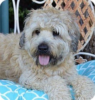 Wheaten Terrier Dog for adoption in Irvine, California - Sparky