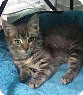 Maine Coon Kitten for adoption in Trenton, New Jersey - Kikkoman (SD)