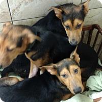 Adopt A Pet :: Camilla - Hainesville, IL