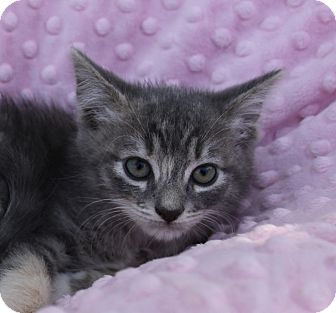 Calico Kitten for adoption in Newport Beach, California - GISELLE