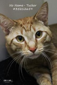 Domestic Shorthair/Domestic Shorthair Mix Cat for adoption in Wilkes Barre, Pennsylvania - Tucker - No Name