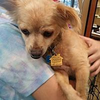 Adopt A Pet :: Simon - Rosemead, CA