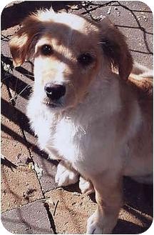 Golden Retriever Mix Puppy for adoption in Owatonna, Minnesota - Martie