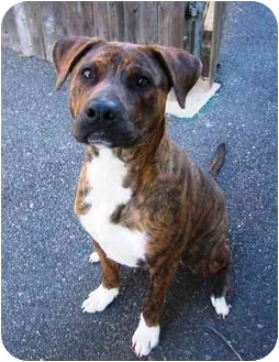 American Pit Bull Terrier/Boxer Mix Dog for adoption in Providence, Rhode Island - Sam I Am