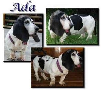 Basset Hound Dog for adoption in Marietta, Georgia - Ada