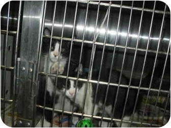 """Domestic Shorthair Kitten for adoption in MARION, Virginia - """"Rhett"""" and """"Butler"""""""