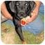 Photo 2 - Hound (Unknown Type)/Labrador Retriever Mix Puppy for adoption in Mahwah, New Jersey - Velvet