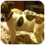 Photo 2 - Jack Russell Terrier Puppy for adoption in Harrah, Oklahoma - Scotty