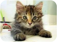 Maine Coon Kitten for adoption in Arlington, Virginia - Ruby