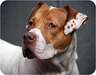 American Staffordshire Terrier Mix Dog for adoption in Middletown, New York - Millie