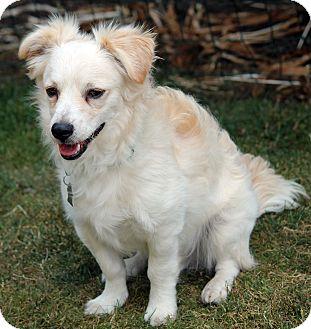 American Eskimo Dog/Spaniel (Unknown Type) Mix Dog for adoption in Lynnwood, Washington - Griffin