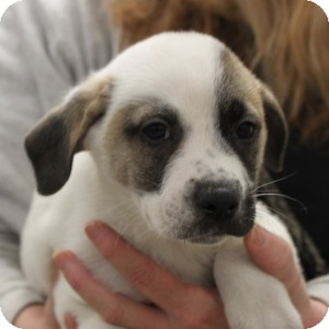 Labrador Retriever Mix Puppy for adoption in Naperville, Illinois - Ranger