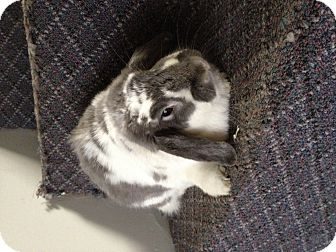 Lop-Eared for adoption in Lower Burrell, Pennsylvania - Sadie