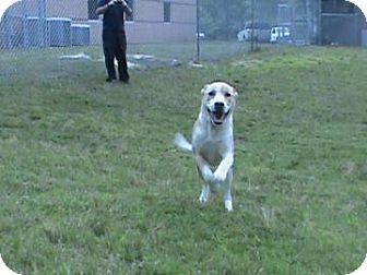 Labrador Retriever Mix Dog for adoption in Columbus, Georgia - Marlie 010B