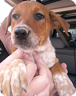 Cattle Dog/Border Collie Mix Puppy for adoption in Colorado Springs, Colorado - Beau