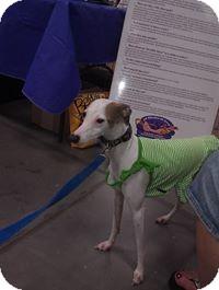 Italian Greyhound Dog for adoption in Vidor, Texas - Ava