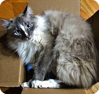 Ragdoll Cat for adoption in Davis, California - Dante