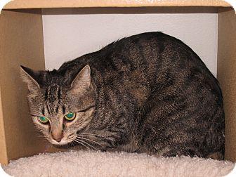 Domestic Shorthair Cat for adoption in Pueblo West, Colorado - Pearl