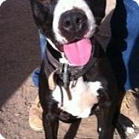 Adopt A Pet :: Sugar - Gilbert, AZ