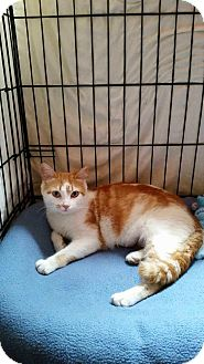Domestic Shorthair Cat for adoption in Speonk, New York - Julissa