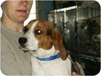 Beagle Dog for adoption in Mason City, Iowa - Boots