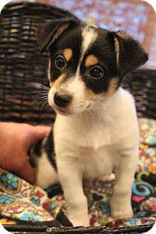 Fox Terrier (Smooth)/Chihuahua Mix Puppy for adoption in Bedminster, New Jersey - Zoot
