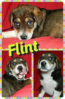 Beagle/Border Collie Mix Puppy for adoption in Newnan, Georgia - Flint