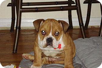 English Bulldog/American Bulldog Mix Dog for adoption in Long Beach, California - Bently
