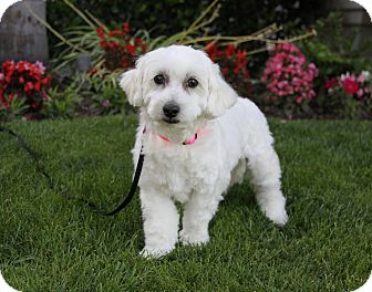 Bichon Frise Mix Dog for adoption in Newport Beach, California - CINDY