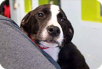Labrador Retriever/Hound (Unknown Type) Mix Puppy for adoption in Garden City, Michigan - Marsha