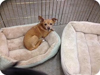 Chihuahua Mix Dog for adoption in Studio City, California - John Doe