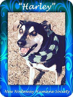 Shepherd (Unknown Type) Mix Dog for adoption in Maryville, Missouri - Harley